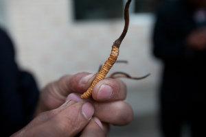 Anastore Cordyceps Sinensis Sauvage Champignon