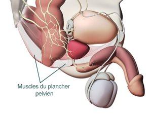 muscle pubococcygien homme